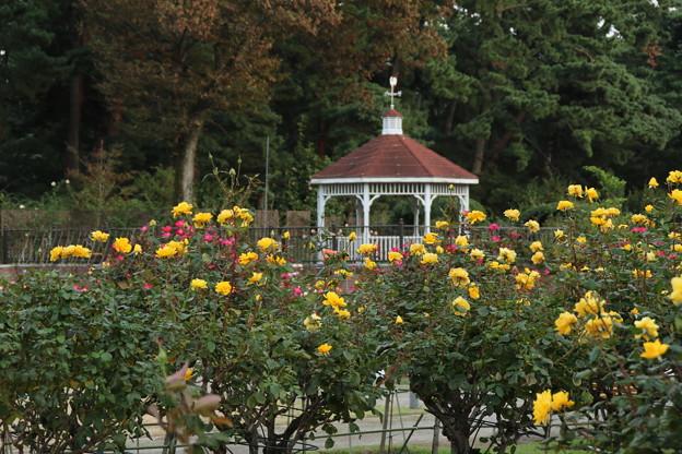秋の薔薇_前橋 D3915