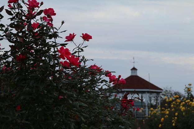 秋の薔薇_前橋 D3916