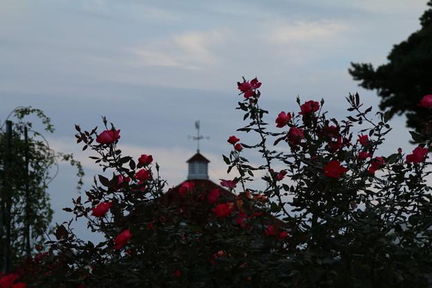秋の薔薇_前橋 D3919
