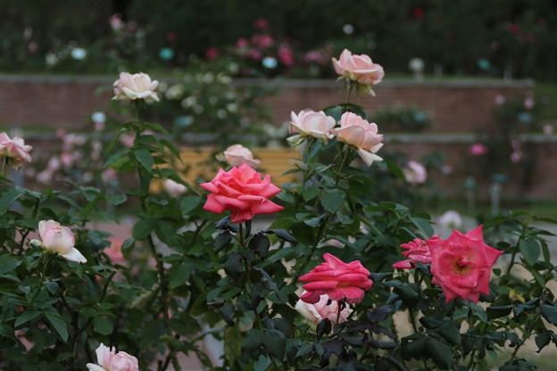 秋の薔薇_前橋 D3931