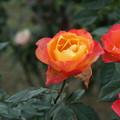 秋の薔薇_前橋 D3932