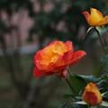 秋の薔薇_前橋 D3934