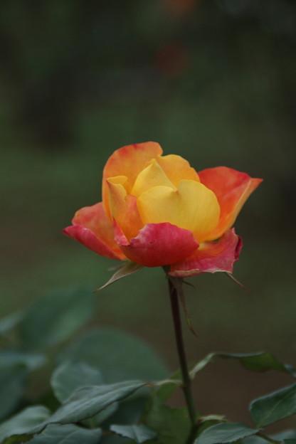 秋の薔薇_前橋 D3933