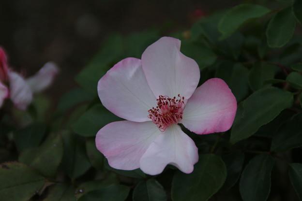 秋の薔薇_前橋 D3936