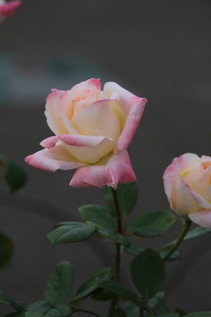 秋の薔薇_前橋 D3938