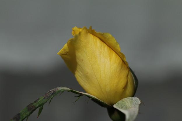 薔薇_花壇 D4090