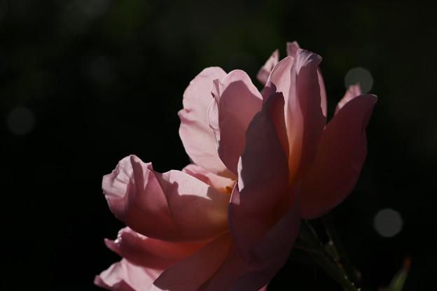 薔薇_花壇 D4094