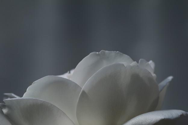 薔薇_花壇 D4108