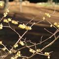 ロウバイ_植物園 D4811