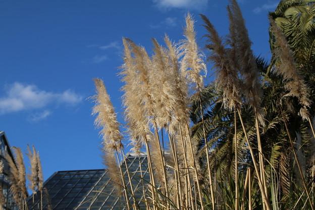 パンパスグラス_植物園 D4826