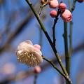 Photos: 白梅_植物園 D4845