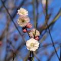 Photos: 白梅_植物園 D4846