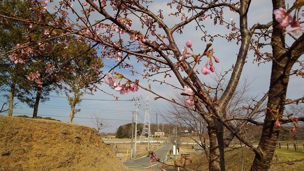 河津桜_公園 K127