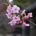 桜_公園 D5051