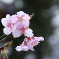 桜_公園 D5054