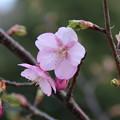 桜_公園 D5057