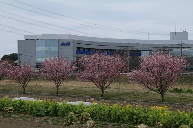 桜_散歩道 D5152