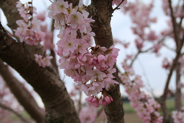 桜_散歩道 D5156