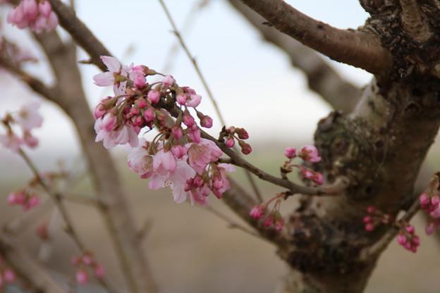 桜_散歩道 D5157