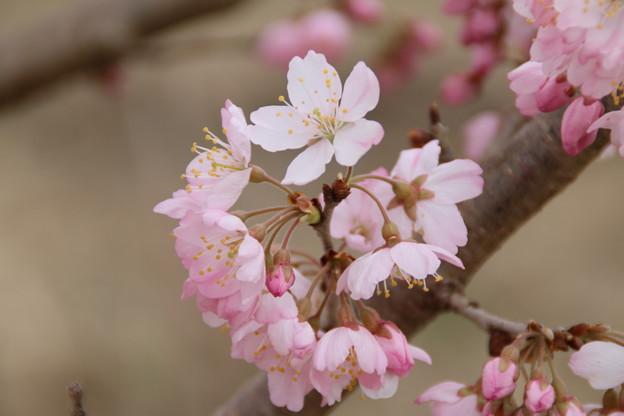 桜_散歩道 D5158