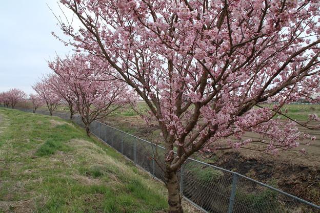 桜_散歩道 D5159