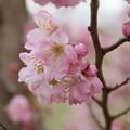 Photos: 桜_散歩道 D5171