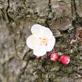 Photos: 白梅_公園 D5181