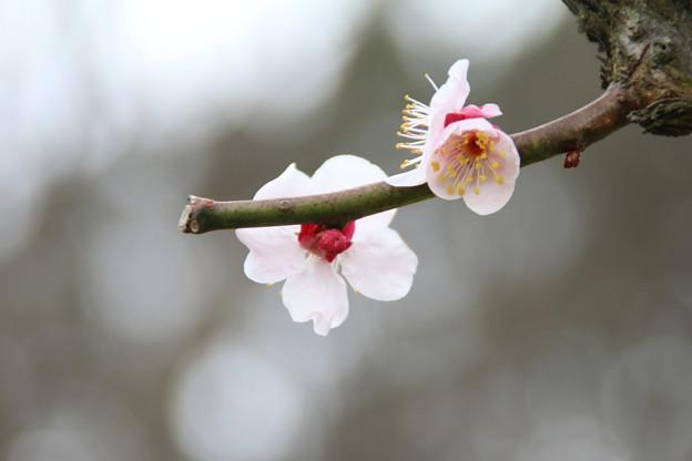 Photos: 桜_散歩道 D5182
