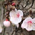 Photos: 桜_散歩道 D5183