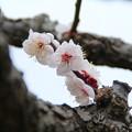Photos: 白梅_公園 D5186