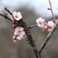 Photos: 白梅_公園 D5188