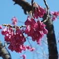 Photos: 桜_散歩道 F3944