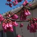 Photos: 桜_散歩道 F3945