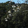 Photos: 桜_公園 F3999