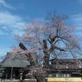 桜_歓喜寺 F4002
