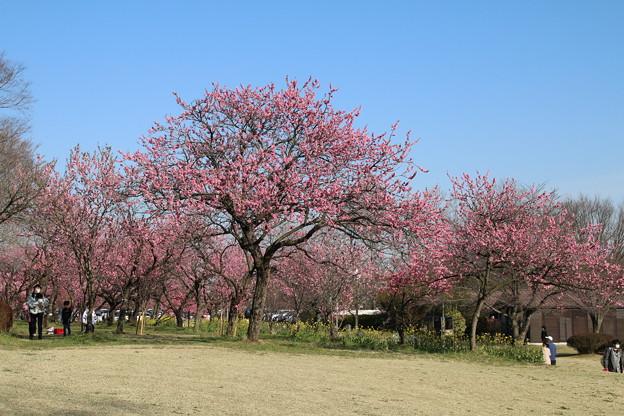 桃_古河公園 D5225