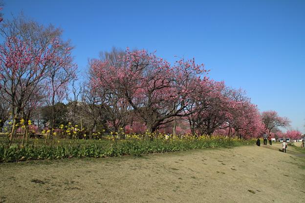 桃_古河公園 D5226