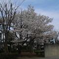 Photos: 桜_公園 D5264