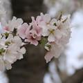 Photos: 桜_公園 D5265