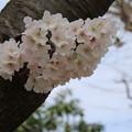 Photos: 桜_公園 D5266