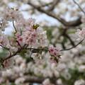 Photos: 桜_公園 D5267