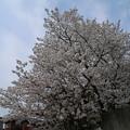 Photos: 桜_公園 D5269