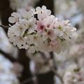 Photos: 桜_公園 D5268