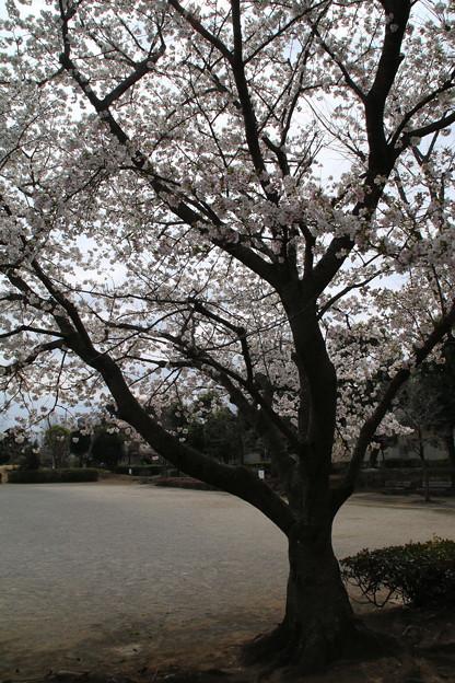 Photos: 桜_公園 D5270
