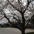 桜_公園 D5270