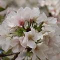 Photos: 桜_公園 D5274
