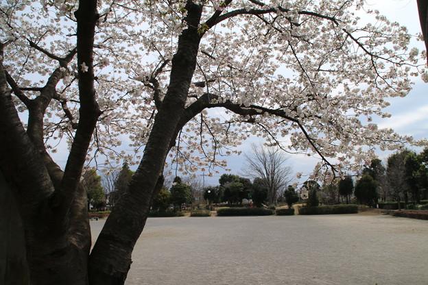 Photos: 桜_公園 D5272