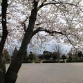 桜_公園 D5272