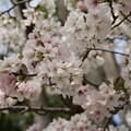 Photos: 桜_公園 D5275