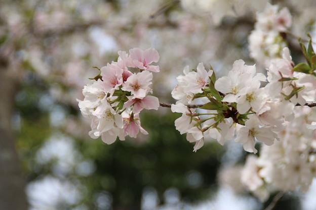 Photos: 桜_公園 D5276